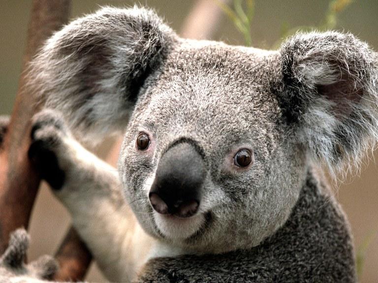 Koala3.jpg